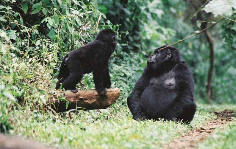How To See Mountain Gorillas in East Africa's Uganda and Rwanda