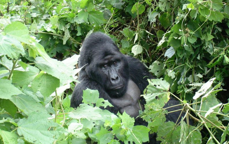 how to see a mountain gorilla