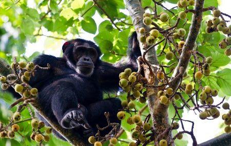 Kibale Forest Chimpanzee Safari