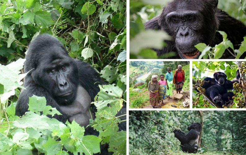 Amazing Gorilla & Chimpanzee Safari