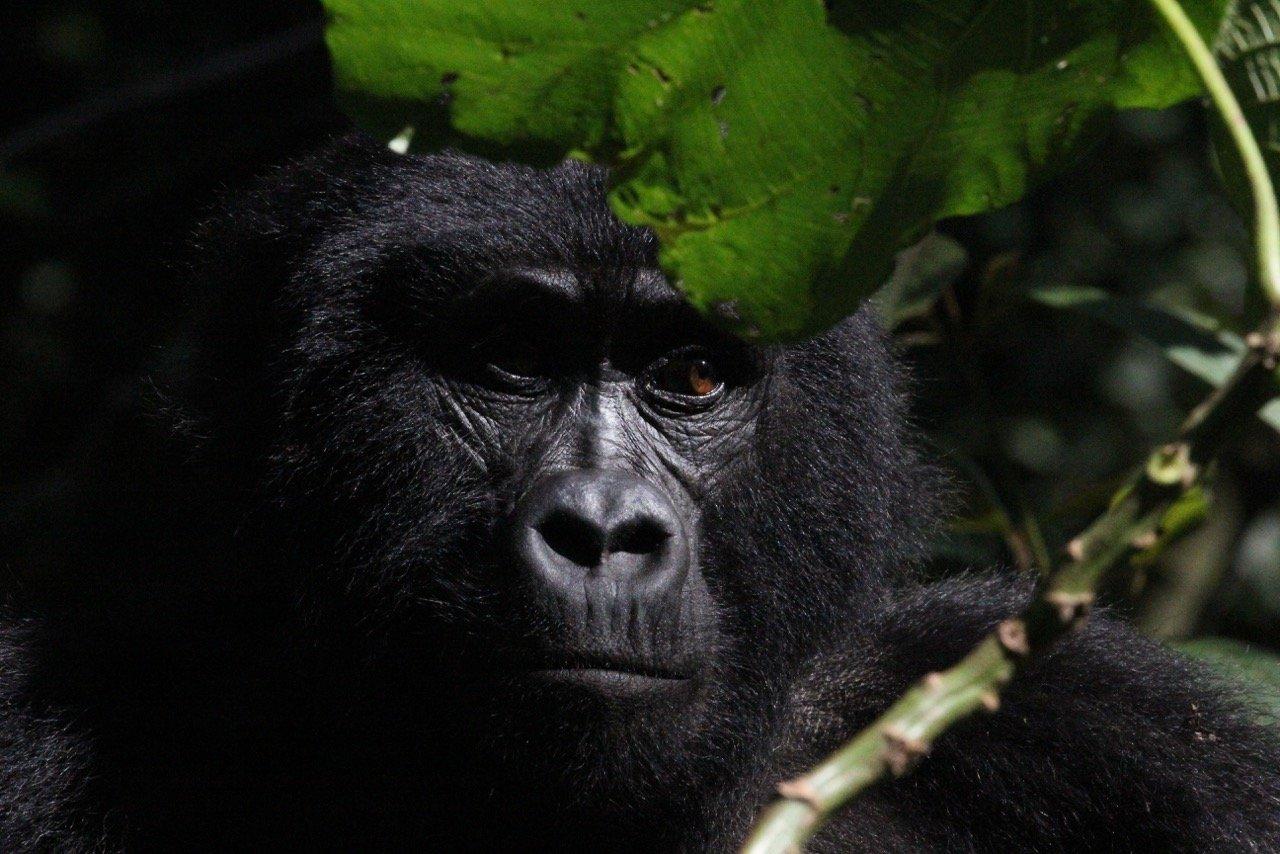 mountain gorilla tracking tours in Uganda
