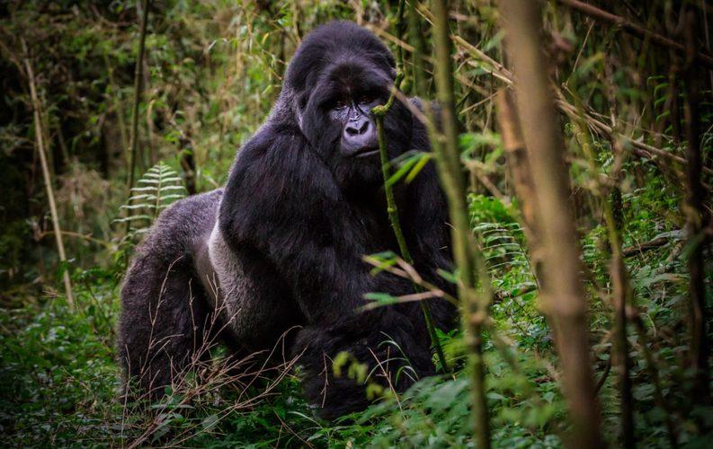 how to see mountain gorillas in Uganda and Rwanda