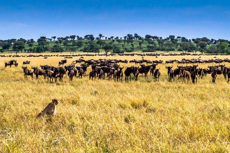 Great Migration Unfolding in Serengeti